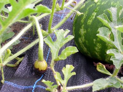 Jak pěstovat meloun vodní